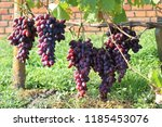 vine with bunches of grapes. a... | Shutterstock . vector #1185453076