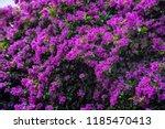 Blooming Bougainvillea Flowers...
