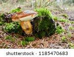 imleria badia   edible mushroom.... | Shutterstock . vector #1185470683