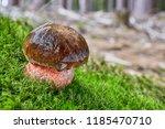 neoboletus luridiformis known... | Shutterstock . vector #1185470710