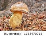 tylopilus felleus   inedible... | Shutterstock . vector #1185470716