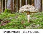 chlorophyllum olivieri   edible ...   Shutterstock . vector #1185470803