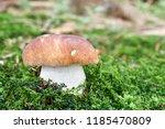 boletus edulis   edible...   Shutterstock . vector #1185470809