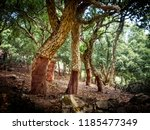 Cork Oaks In The Andalusian...