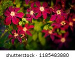 amazing nature concept of pink... | Shutterstock . vector #1185483880