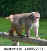 japanese macaque macaca fuscata ... | Shutterstock . vector #1185530743