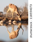a thirsty impala reflected in a ... | Shutterstock . vector #118554073