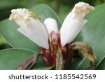 beautiful cone shaped white... | Shutterstock . vector #1185542569
