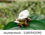 beautiful cone shaped white... | Shutterstock . vector #1185542590