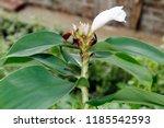 beautiful cone shaped white... | Shutterstock . vector #1185542593
