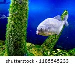 ordinary piranhas are a species ... | Shutterstock . vector #1185545233
