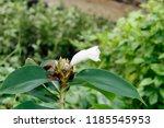 beautiful cone shaped white... | Shutterstock . vector #1185545953