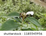 beautiful cone shaped white... | Shutterstock . vector #1185545956