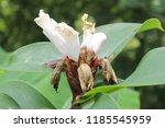 beautiful cone shaped white... | Shutterstock . vector #1185545959