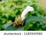 beautiful cone shaped white... | Shutterstock . vector #1185545980