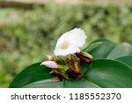 beautiful white crinkled flower ... | Shutterstock . vector #1185552370