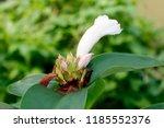 beautiful white crinkled flower ... | Shutterstock . vector #1185552376