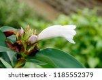 beautiful white crinkled flower ... | Shutterstock . vector #1185552379