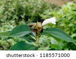 white flower of cheilocostus... | Shutterstock . vector #1185571000