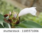 white flower of cheilocostus... | Shutterstock . vector #1185571006