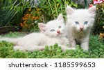 Stock photo portrait of a beautiful cat beautiful cat close up beautiful cat at home domestic animal cute 1185599653