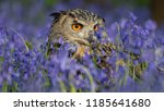 Stock photo common barn head close up the owl sitting on a tree branch a beautiful huge european eagle owl 1185641680