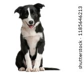 Stock photo dog is sitting frontal and looking at camera isolated on white background cute puppy on a white 1185646213