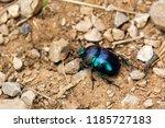 scarab beetle on stony ground | Shutterstock . vector #1185727183
