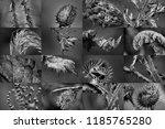 aggressive foliage. spiny... | Shutterstock . vector #1185765280