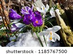 purple and white crocus flowers ... | Shutterstock . vector #1185767500