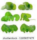centella asiatica isolated on... | Shutterstock . vector #1185857479