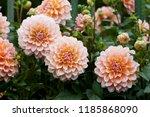 Orange Dahlia In Garden. A...