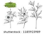 sketch floral botany set.... | Shutterstock .eps vector #1185923989