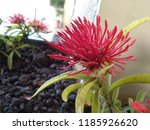 flowers hd images indian flowers | Shutterstock . vector #1185926620