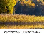 Reed Belt In The Sunshine By...