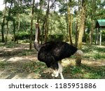 the ostrich or common ostrich... | Shutterstock . vector #1185951886