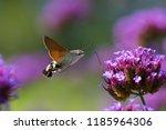 Hummingbird Hawk Moth ...