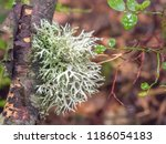 oak moss  evernia prunastri ... | Shutterstock . vector #1186054183