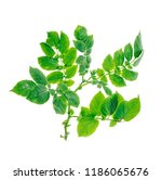 stalk of potatoes with green... | Shutterstock . vector #1186065676