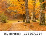 path through the beech forest... | Shutterstock . vector #1186071319