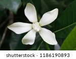 Small photo of Beautiful fragrant Gardenia jasminoides (the gardenia, cape jasmine, cape jessamine, danh-danh, or jasmin) foliage and flower,beautiful flower background.The white flowers have a matte texture.Closeup