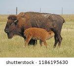 Bison Calf Nursing On...
