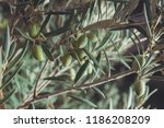 olive tree with green olives ... | Shutterstock . vector #1186208209