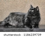 thick fluffy beautiful black cat | Shutterstock . vector #1186239739