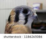 closeup of an american kestrel. ... | Shutterstock . vector #1186265086