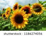 sunflowers in the field | Shutterstock . vector #1186274056