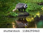 badger in forest  animal in... | Shutterstock . vector #1186293463