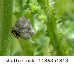 solitary wasp  hymenoptera ... | Shutterstock . vector #1186351813
