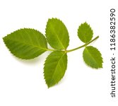 green rose leaf isolated on... | Shutterstock . vector #1186382590
