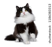 Stock photo adorable black smoke siberian cat kitten sitting playing facing front looking up with bright 1186383313
